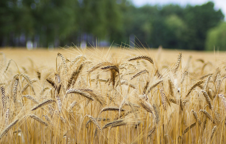 Фото обои поле, лето, деревья, природа, рожь, колоски, хлеб, колосья, злаки, боке, размытый фон, ржаное поле