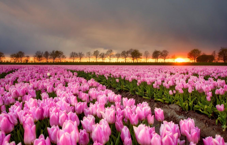 Фото обои поле, небо, солнце, деревья, пейзаж, закат, цветы, природа, вечер, сад, горизонт, тюльпаны, розовые, грядки, много, ...