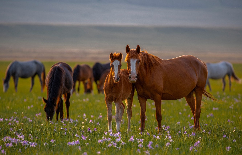 Фото обои цветы, кони, лошади, луг, жеребёнок, Александр Макеев