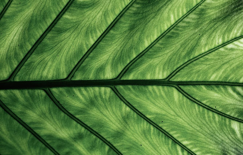 Фото обои макро, лист, зелёный, жилки