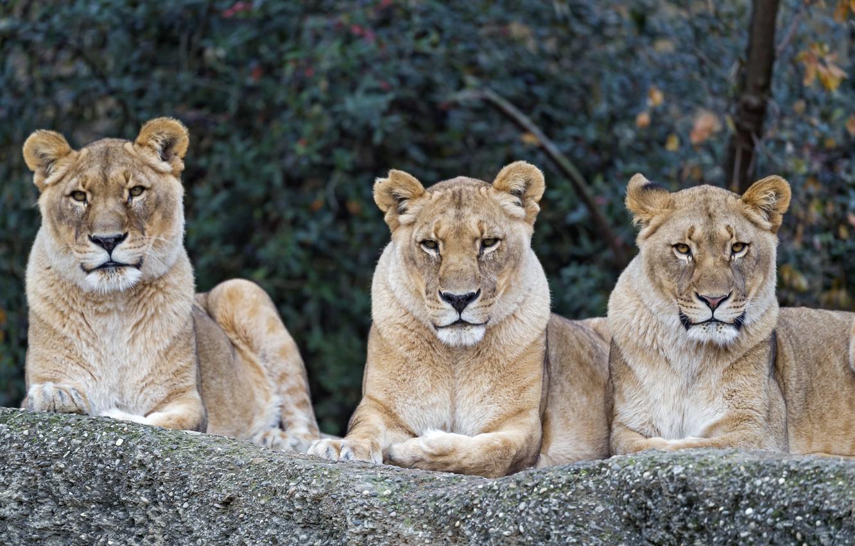 Фото обои природа, отдых, хищники, трио, большие кошки, львицы