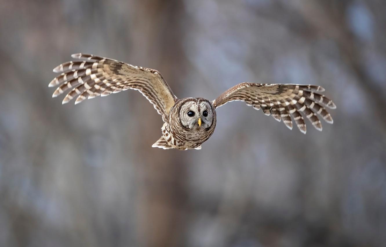 Фото обои птицы, сова, полёт, animal, пёстрая неясыть