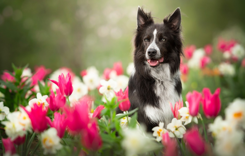 Фото обои цветы, собака, размытость, сад, тюльпаны, нарциссы, Бордер-колли