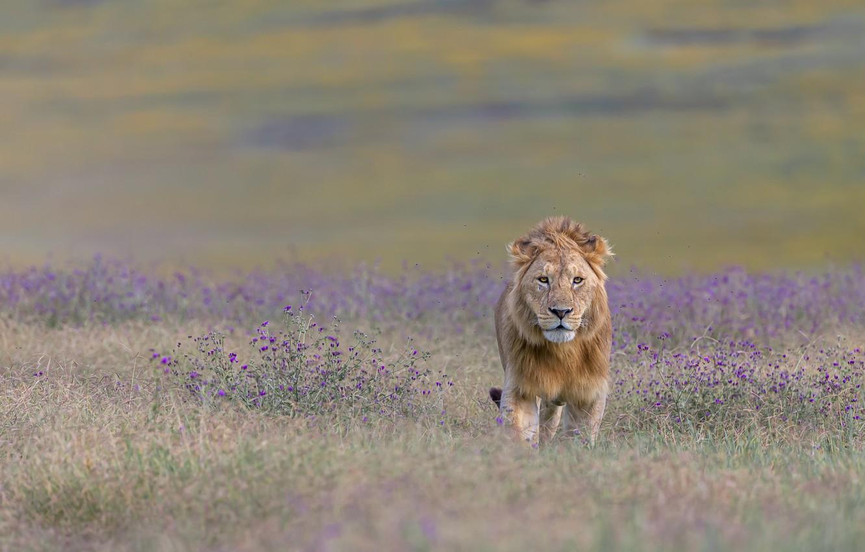 Фото обои лев, саванна, lion, savannah, hong chen