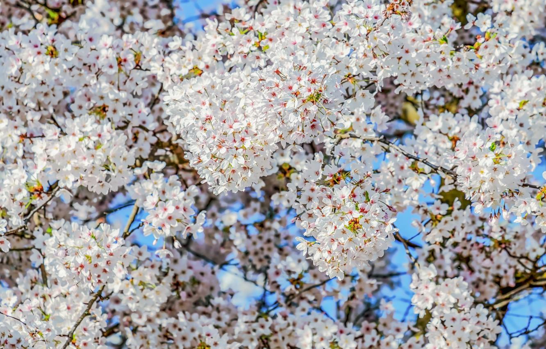 Фото обои небо, ветки, вишня, дерево, весна, цветение, sky, blossom, cherry, branch, bloom