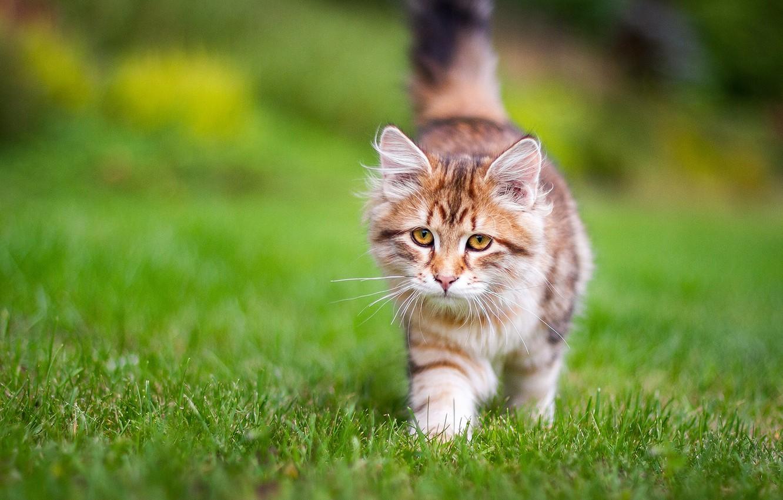 Фото обои трава, котёнок, Сибирская кошка