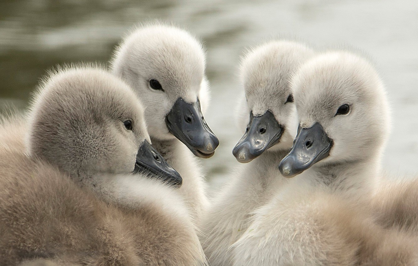 Фото обои птицы, малыши, лебеди, птенцы, квартет