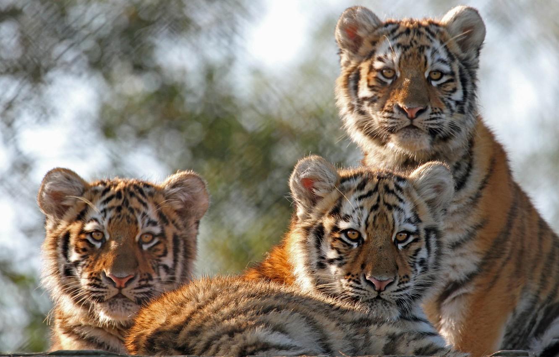 Фото обои котята, дикие кошки, тигры, трио, тигрята, детёныши, троица