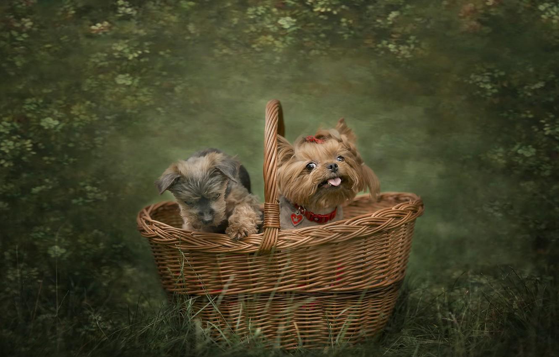Фото обои собаки, корзина, друзья