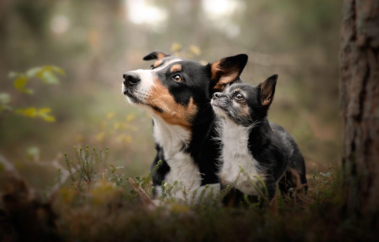 Фото обои животные, собаки, природа, растительность, парочка