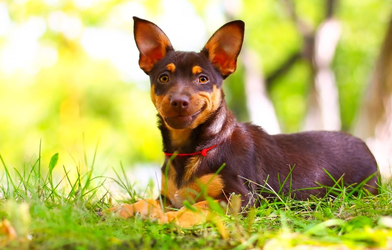 Фото обои улыбка, фон, друг, щенок, травка, собачка
