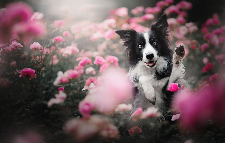 Фото обои морда, цветы, розы, собака, лапы, Бордер-колли, розовые кусты