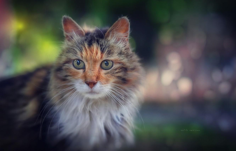 Фото обои кошка, кот, взгляд, пушистый, мордочка, боке, котейка