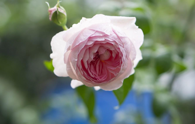 Фото обои капли, свет, розовая, роза, лепестки, бутон, боке