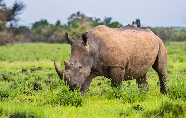 Фото обои horns, rhinoceros, mammal