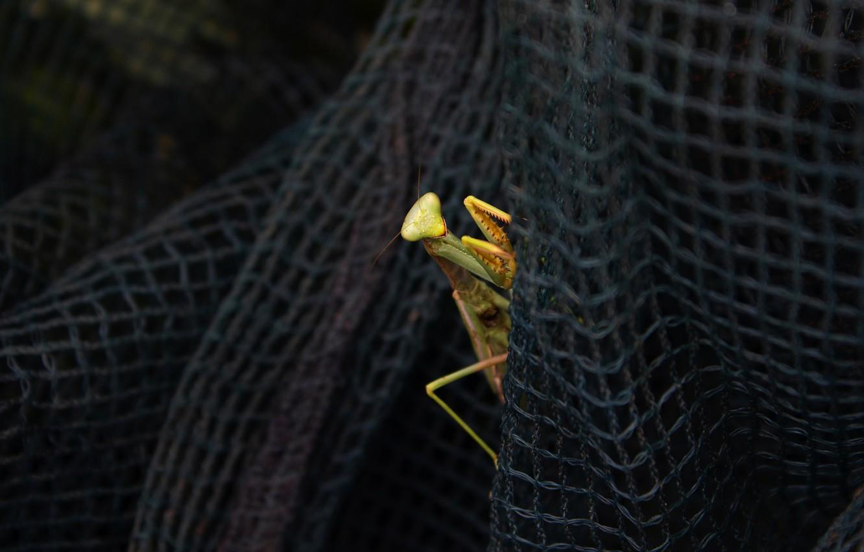 Фото обои взгляд, макро, сети, поза, темный фон, сетка, сеть, лапки, богомол, насекомое, выглядывает