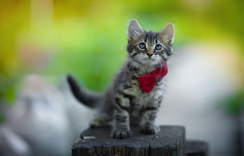 Фото обои котёнок, бантик, колода, Юрий Коротун