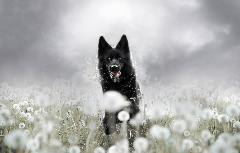 Фото обои лето, взгляд, морда, цветы, фон, поляна, собака, бег, черная, прогулка, одуванчики, немецкая овчарка