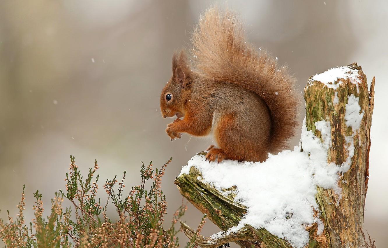 Фото обои снег, белка, коряга, пушистик, грызун