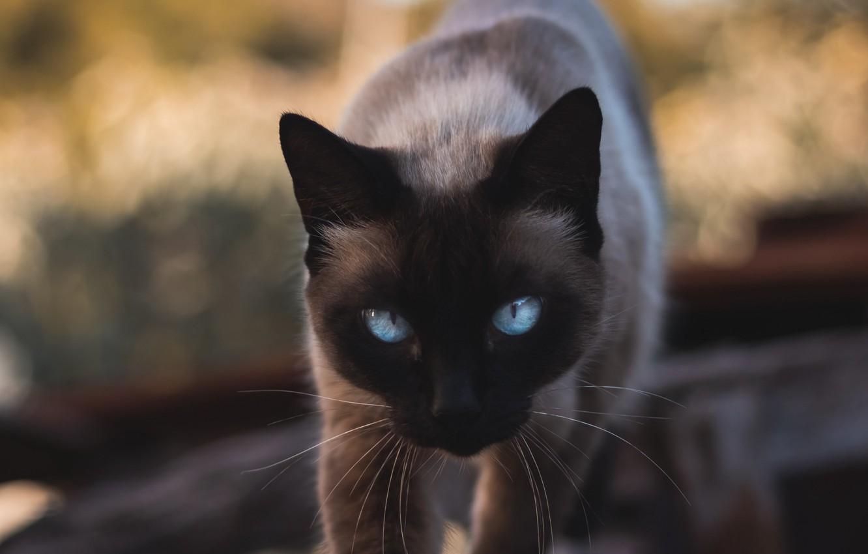 Фото обои animals, cat, blue eyes, cats, look, pet, glance, siamese