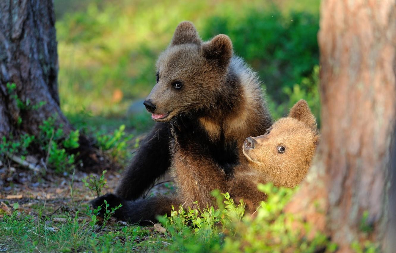 красивые медвежата картинки выполняет декоративную