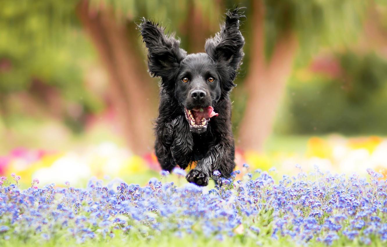 Фото обои поле, язык, цветы, природа, парк, фон, прыжок, поляна, черный, собака, сад, луг, бег, пес, уши, …
