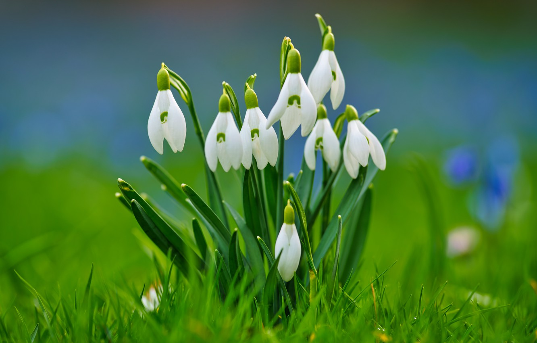 Фото обои трава, фон, весна, подснежники, боке