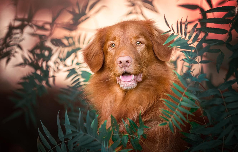 Фото обои язык, взгляд, морда, листья, природа, фон, портрет, собака, пасть, рыжая, боке