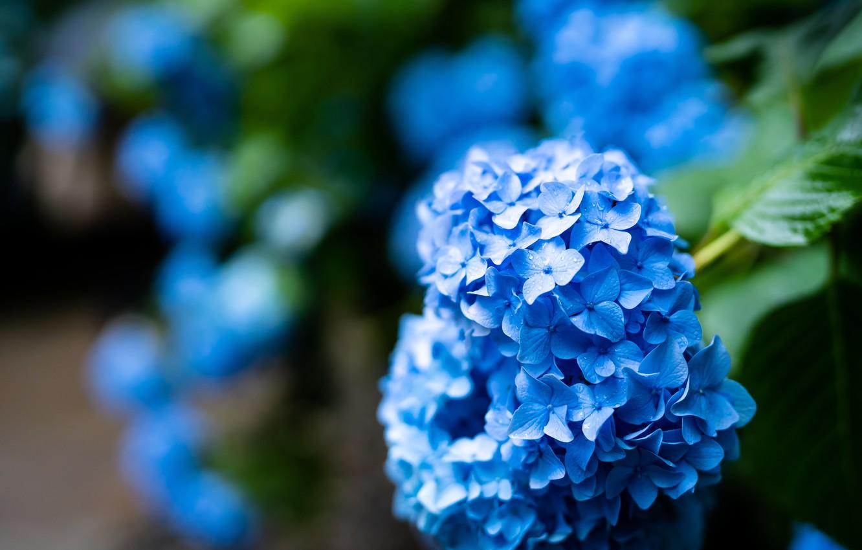 Фото обои цветы, куст, сад, синяя, голубая, соцветия, размытый фон, гортензия