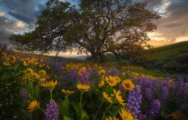 Фото обои цветы, дерево, луг, люпины, Washington State, бальзамориза, Columbia Hills State Park, Штат Вашингтон, Парк штата …