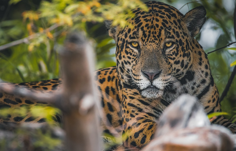 Фото обои взгляд, морда, хищник, Ягуар, дикая кошка