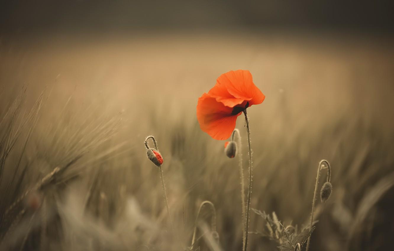 Фото обои цветок, природа, мак
