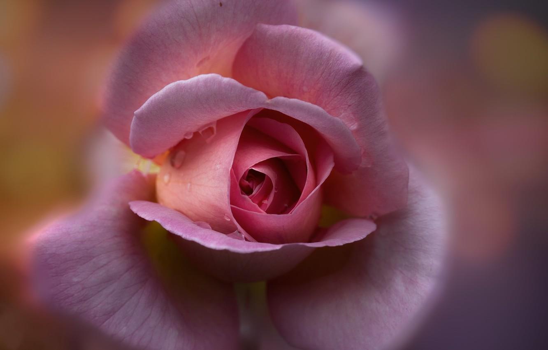 Фото обои цветок, фон, роза