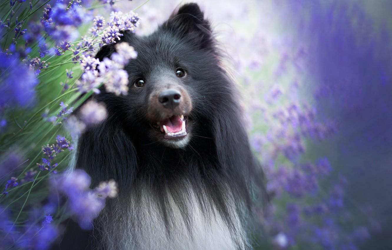 Фото обои морда, портрет, собака, лаванда, Шелти, Шетландская овчарка