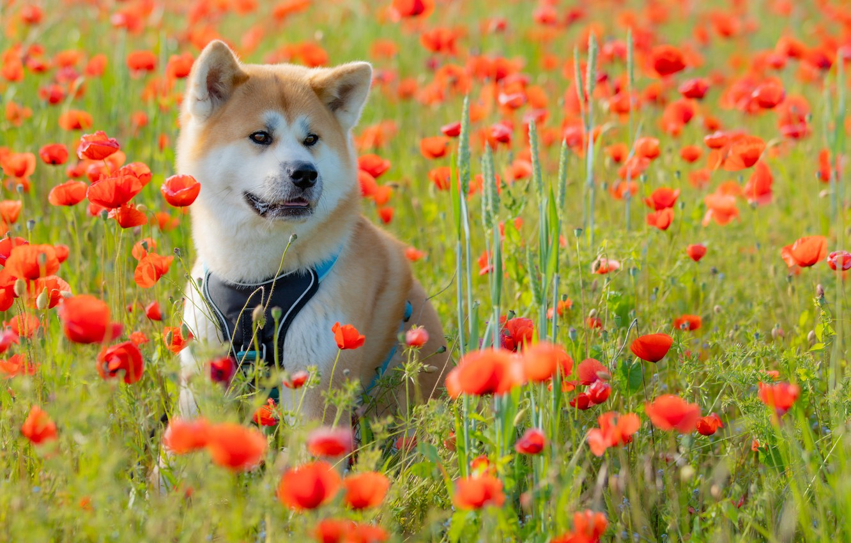 Фото обои цветы, маки, собака, луг, Акита-ину