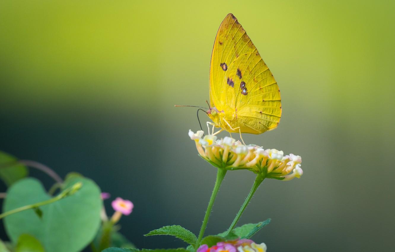 Фото обои цветок, макро, бабочка