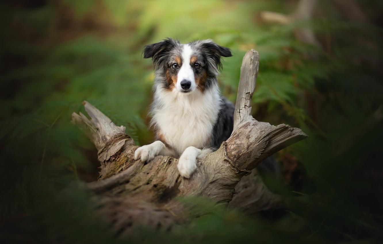 Фото обои взгляд, собака, размытость, коряга, Австралийская овчарка, Аусси