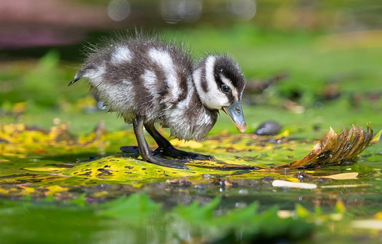 Фото обои листья, вода, птица, утёнок, утка, птенец, боке