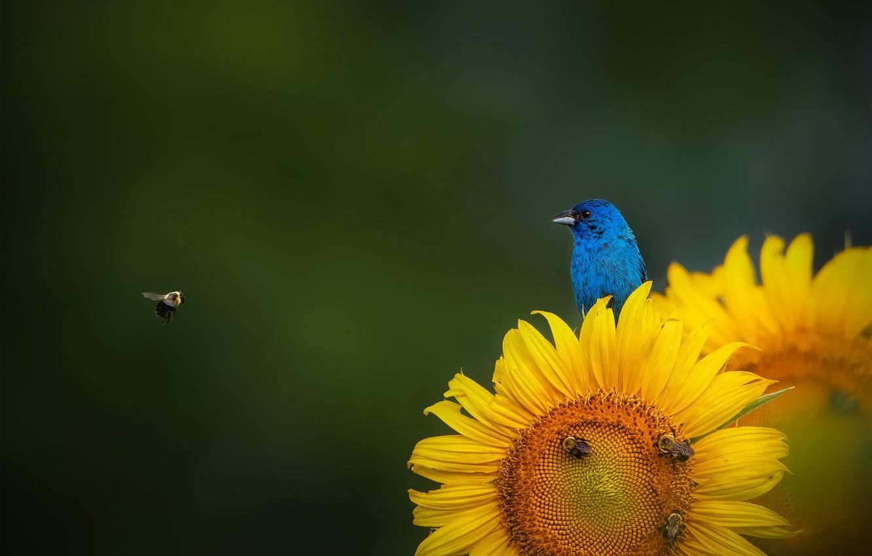 Фото обои подсолнух, пчелы, sunflower, bees, индиговая овсянка, Indigo Bunting, Ruiqing P