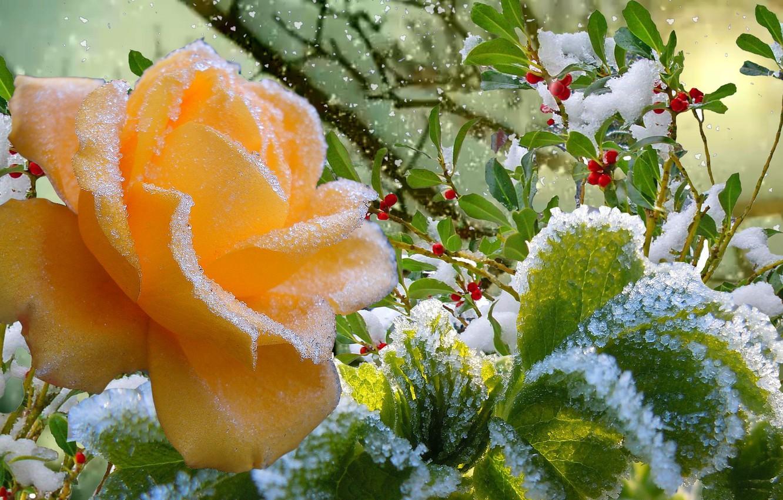 Фото обои иней, осень, снег, роза, Зима