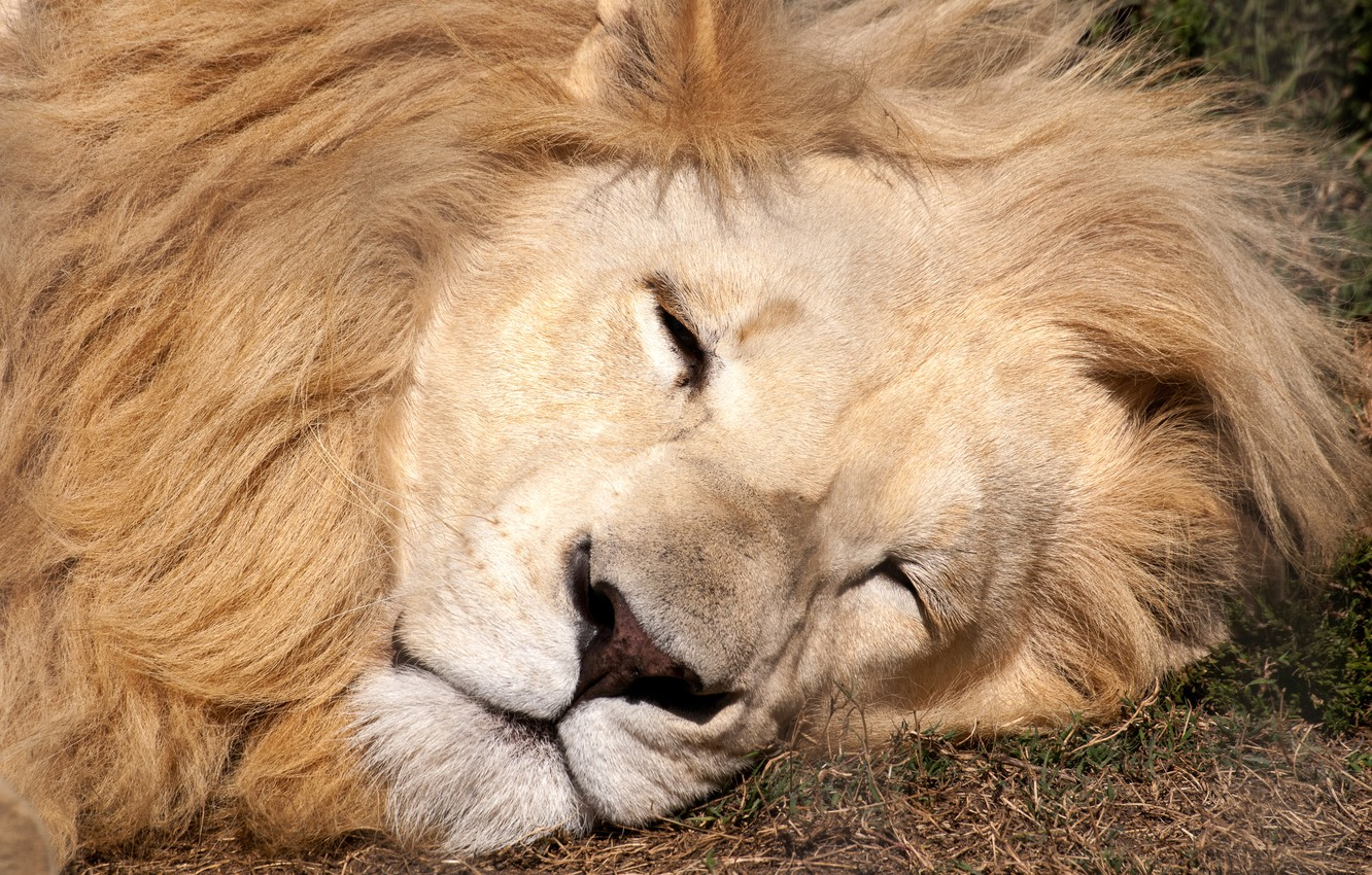 Фото обои lion, sleeping, eyes closed