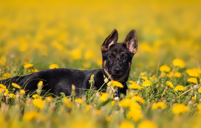 Фото обои поле, цветы, природа, фон, поляна, собака, весна, желтые, щенок, лежит, одуванчики, немецкая овчарка, одуванчиковое