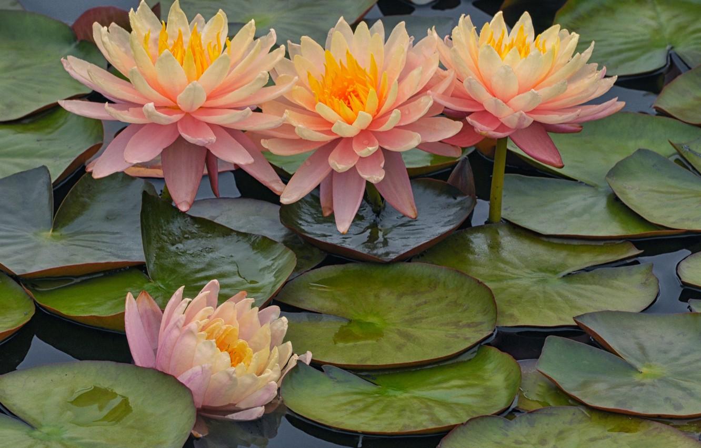 Фото обои листья, розовая, лепестки, нимфея, водяная лилия