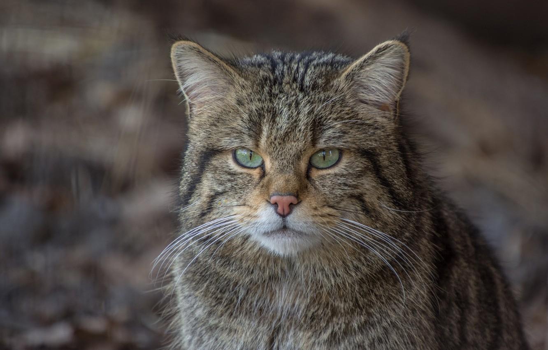 Фото обои кот, взгляд, морда