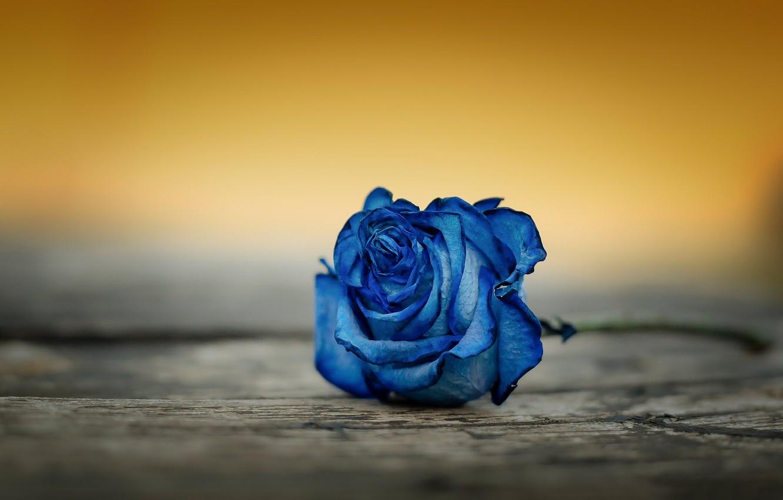 Фото обои макро, фон, роза, бутон, синяя