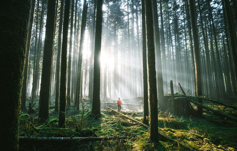 Фото обои лес, солнце, человек, мох, чаща, сосны, коряги