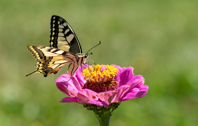 Фото обои цветок, бабочка, махаон