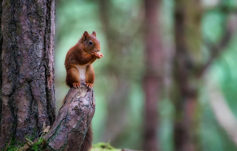 Фото обои лес, природа, дерево, животное, белка, ствол, коряга, зверёк, грызун