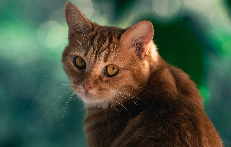 Фото обои кошка, кот, взгляд, фон, рыжий, мордочка, котейка