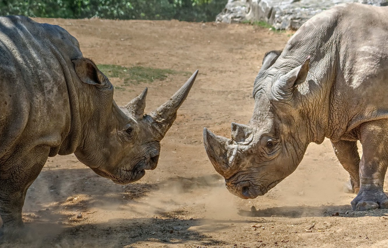 Фото обои природа, фон, носороги